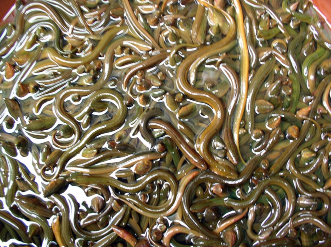 china-eels-photo.jpg.662x0_q100_crop-scale